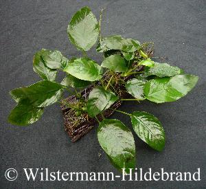 Terrarienpflanzen - Epiphyten zimmerpflanze ...