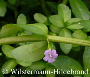 Blüte an Bacopa madagascariensis