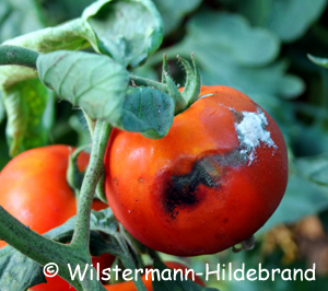 Colletotrichum an Tomate