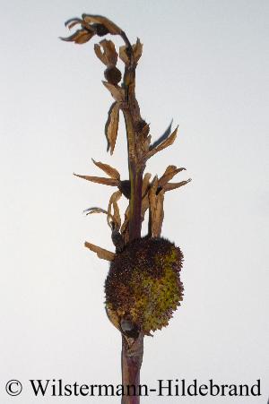 Gattung Canna - Blumenrohr