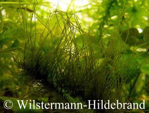 Informationen zu algen for Blaualgen im garten