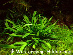 submerse Cryptocoryne willisii