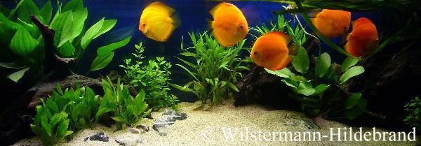 aquarium pflanzen diskusbecken
