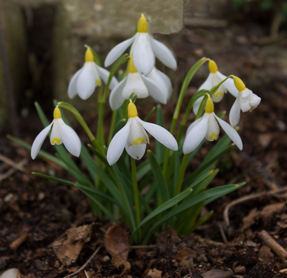 Galanthus Ray Cobb
