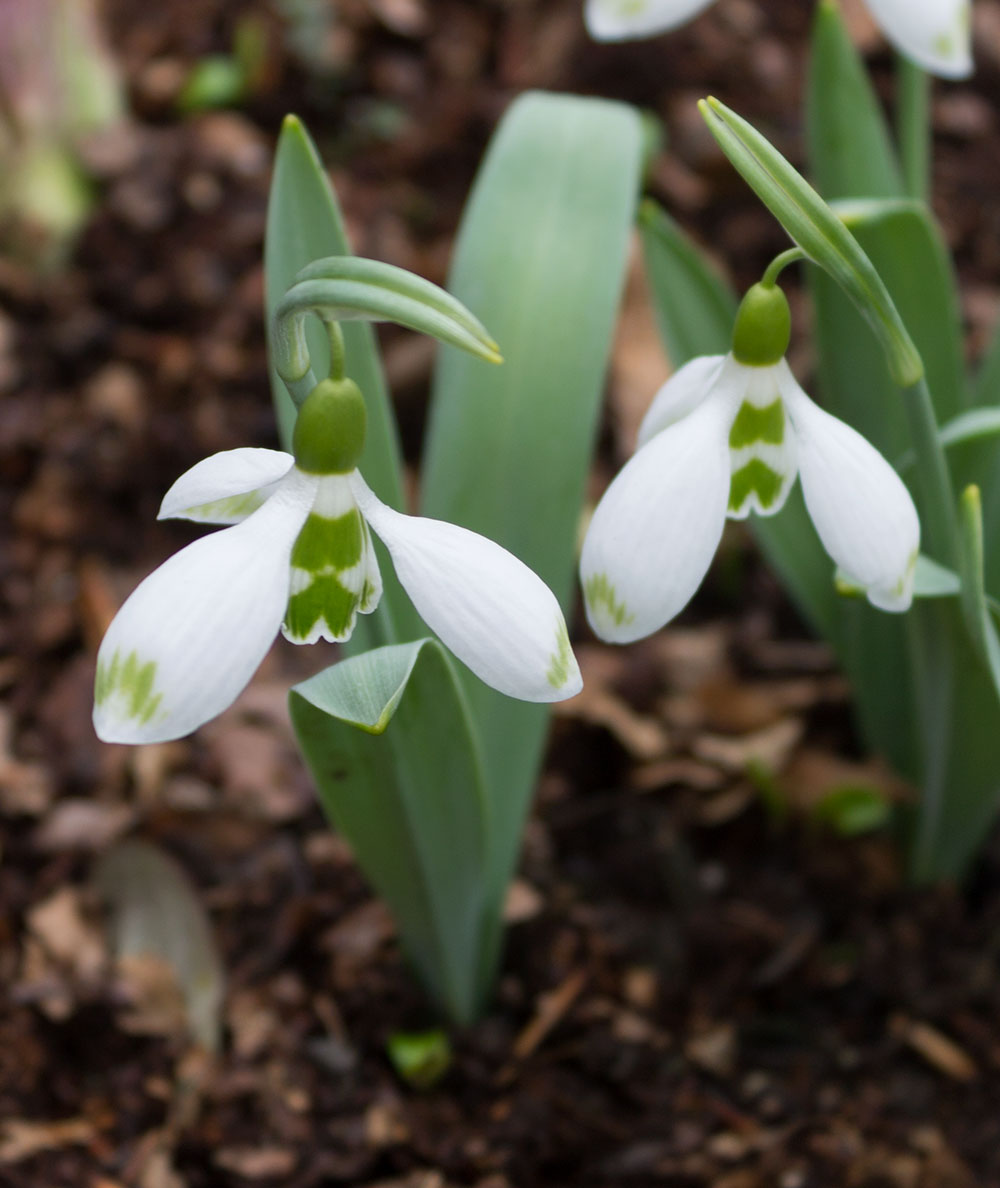 Galanthus Selborne Green Tips