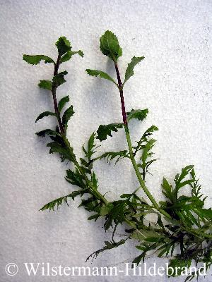 die bltter verndern ihre form wenn die pflanze die wasseroberflche durchstsst meistens werden sie breiter krzer und bilden krzere blattstiele aus - Einkeimblattrige Pflanzen Beispiele