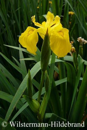 blau iris mit gelbe bartiris