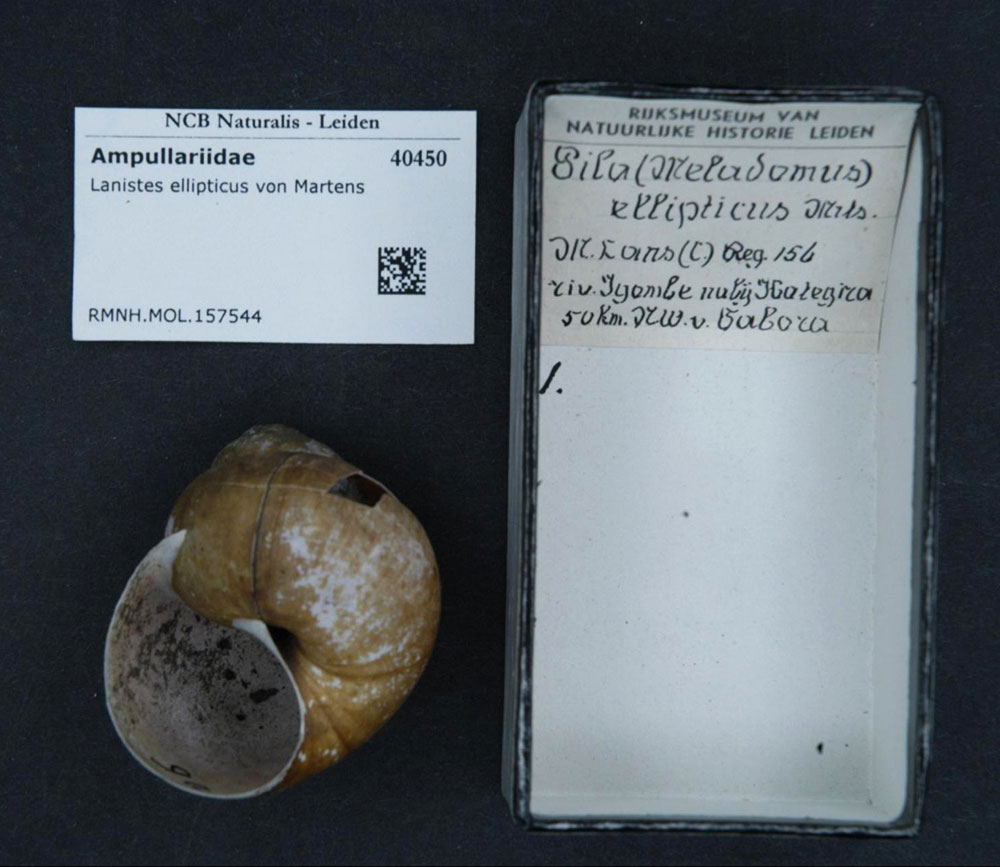 Apfelschnecken - Die Familie der Ampullariidae