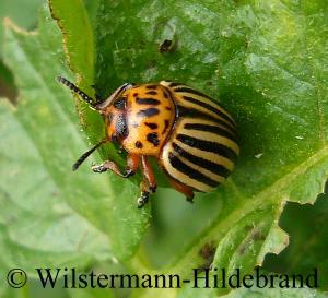 können käfer fliegen