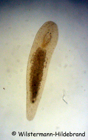 Macrostomum sp.