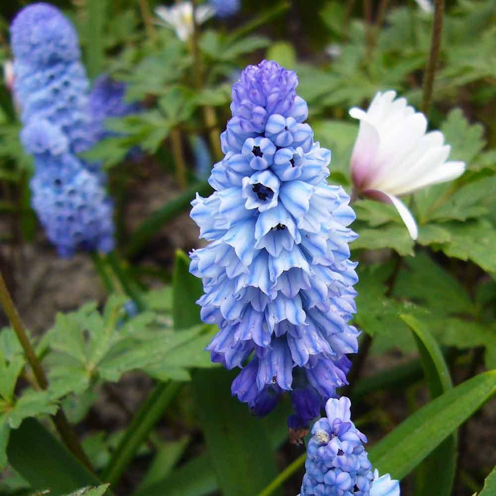 Kleine Traubenhyazinthe und blaue Anemone 60 blumenzwiebeln