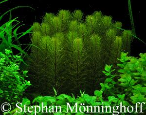 Myriophyllum tausendbl tter im aquarium und am teich for Aquarium im teich