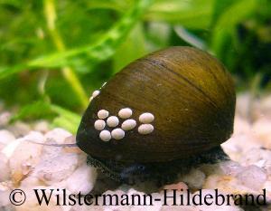 Neritidae nixenschnecken rennschnecken geweihschnecken for Schnecken im aquarium