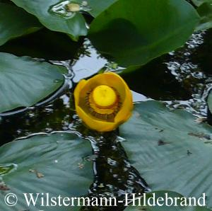 Nuphar advena