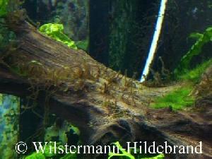 Algen im aquarium algen im gartenteich for Gartenteich aquarium