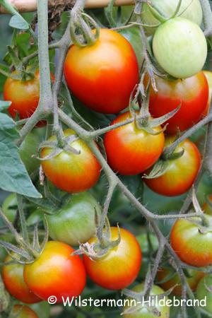 tomaten bilden keine früchte