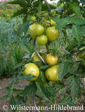 schwarze ananas tomatenpflanze